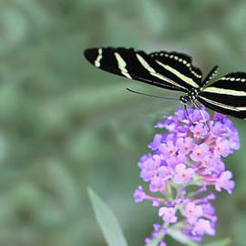Shelley Neff - Zebra Longwing Butterfly