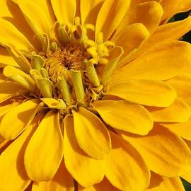 Bruce Bley - Zinnia Close Up