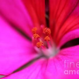 J McCombie - Zonal Geranium named Tango Neon Purple