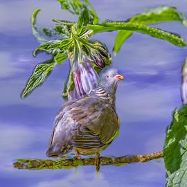 Leif Sohlman - Comfrey dove