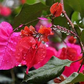 Susan Vineyard -  Bougainvillea in the Rain