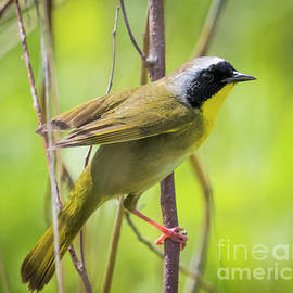 Ricky L Jones -  Common Yellowthroat Warbler