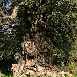 Colette V Hera  Guggenheim  -  Pure Olive Tree nature Spain