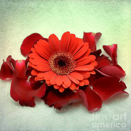 . red gerbera . - SK Pfphotography
