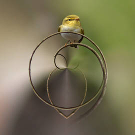 Jouko Lehto -  Wood Warbler