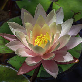 Bruce Frye - A Water Lily