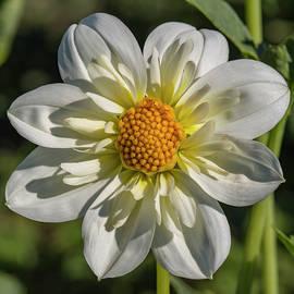 Bruce Frye - A White Dahlia