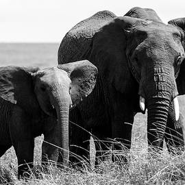 Aidan Moran - African Elephants