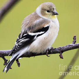 Ricky L Jones - American Goldfinch