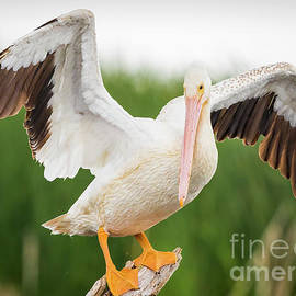 Ricky L Jones - American White Pelican
