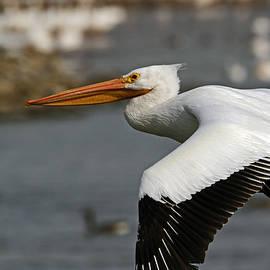 Steve Yezek - American White Pelican