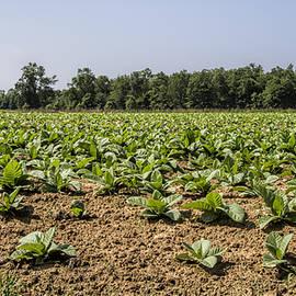 Amish Tobacco Fields
