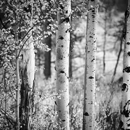 Vishwanath Bhat - Aspen trees in black and white