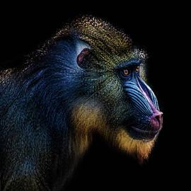 Baboon - Martin Newman