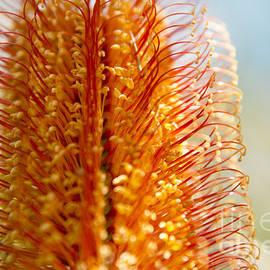Sharon Mau - Banksia ericafolia