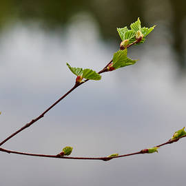 Jouko Lehto - Birches spring