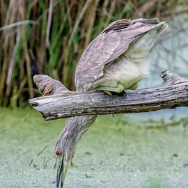 Rick Higgins - Black-crowned Night Heron
