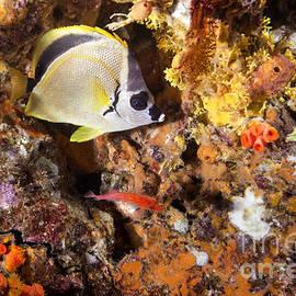 Anthony Totah - Black-nosed Butterflyfish - Johnrandallia nigrirostris