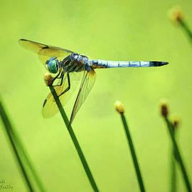 Sandi OReilly - Blue Dasher Dragonfly