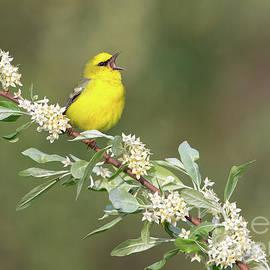 Joshua Clark - Blue-winged Warbler