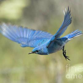 Mike Dawson - Bluebird glide