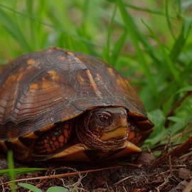Aaron Rushin - Box Turtle
