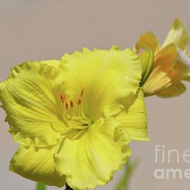 Ruth Housley - Bright Yellow Daylily