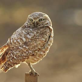Doug Herr - Burrowing Owl