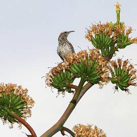 Elaine Malott - Cactus Wren