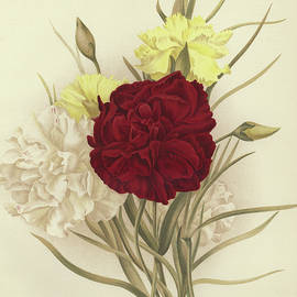Carnations - English School