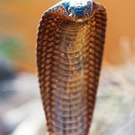 Closeup Of Dangerous Cobra - Susan Schmitz