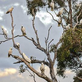 Steven Ralser - Cockatoos - Canberra - Australia