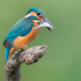 Sergey Ryzhkov - Common Kingfisher Catched The Fish