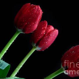 Tracy  Hall - Crimson Tulips