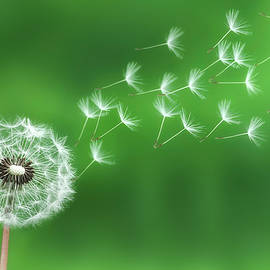 Bess Hamiti - Dandelion seeds