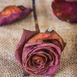 Dead Rose - Carlos Caetano