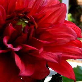 Arlane Crump - Deep Red Dahlia