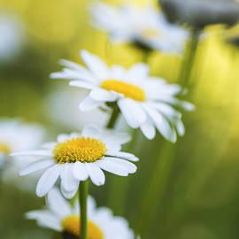 Vishwanath Bhat - Elegant White Daisies
