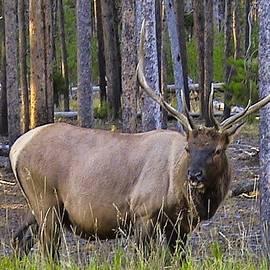 Carl Moore - Elk