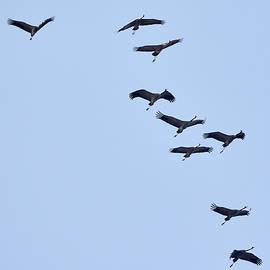 Jouko Lehto - Eurasian crane migration
