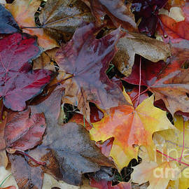 Luv Photography - Fall  Maple Leaves