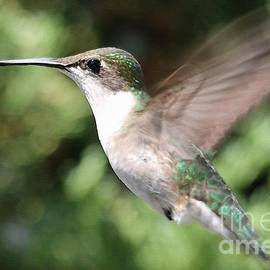 J McCombie - Female Ruby-Throated Hummingbird in Flight
