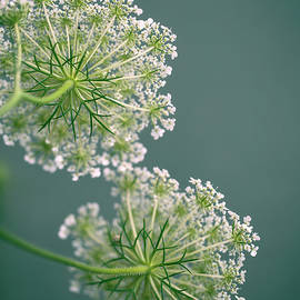 Fragile Dill Umbels on Summer Meadow - Nailia Schwarz