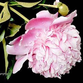 Jeannie Rhode Photography - Fresh Pink Peony