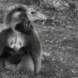 Diane Hawkins - Gelada Baboon
