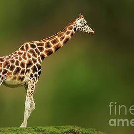 Charuhas Images - Giraffe