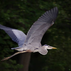 Brian Wallace - Great Blue Heron In Flight