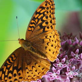Neal  Eslinger - Great Spangled Fritillary Butterfly