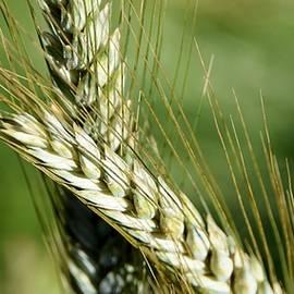Werner Lehmann - green Wheat Impression...