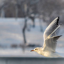 Olimpia Negura - Gull